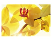 Yellow Orchid Photo. Sunn...