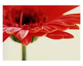 Red Gerber Daisy. Red Flo...