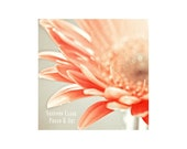 Gerber Daisy Photo. Pink ...