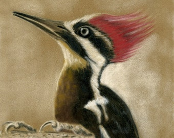 Pileated Woodpecker- a pastel drawing from the artist Wendy Leedy's wildlife collection- fine art print, signed.