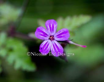 Purple Star Flower - macro - nature photo