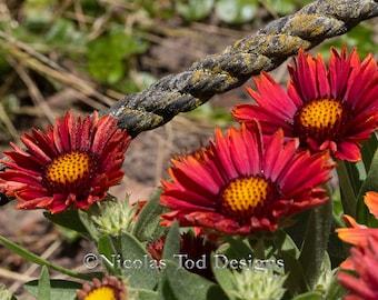 Red daisies and rope - macro - nature photo