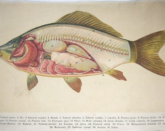 Vintage Educational Poster School Chart Czech European Print Anatomical Print of Fish 1952