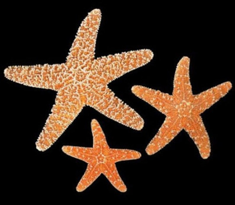 Bulk Sugar Starfish 1 to 4  pcs  34 to 2-2 14 2 3 4 5 inch Sugar starfish Orange Amber Color Beach Nautical Decor Crafts,Weddings