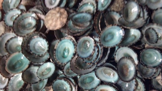 ~ Seashells ~ Shellcraft ~ Sailor/'s Valentines ~ 20 ~ Blue-Green Limpet Shells