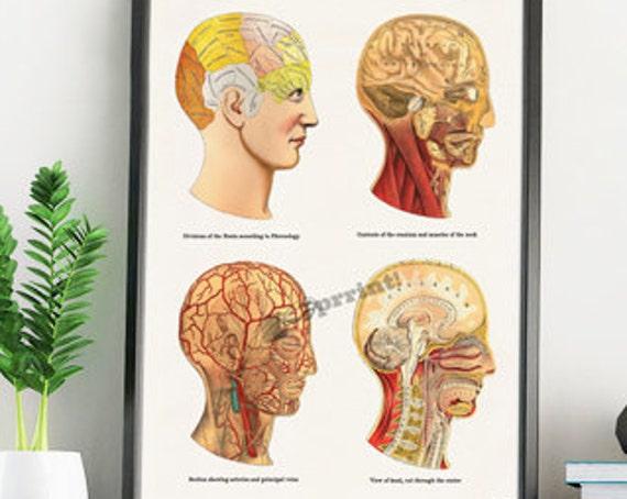 Anatomical Human Heads wall decor SKA200WA4