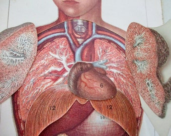 1900s overlay color litho MANIKIN from antique medical book - charts, abdomen, chest, organs, lungs, heart