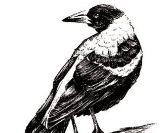 Magpie Card Hand Drawn Australian Bird Blank Greeting Card