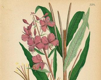 FIREWEED  - Botanical book Plate 334