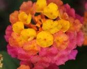 Lantana Lucky Sunrise Rose