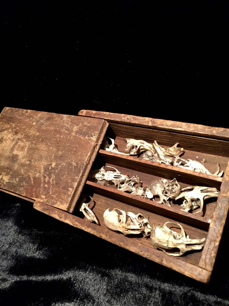 Antique Skull Specimen Collection In Primitive Old Wooden Box Spooky Gothic Decor At Gothic Rose Antiques