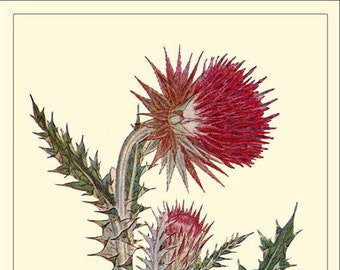 MUSK THISTLE - Botanical print reproduction