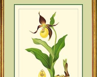 YELLOW LADY'S SLIPPER - Vintage Botanical print reproduction 419