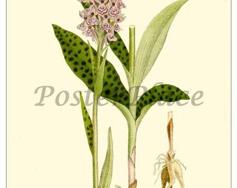 SPOTTED ORCHID - Art Card Botanical reproduction 399