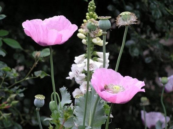 Ravishing Raspberry Pink Poppy Flower Seeds 100 plus seeds in each pack