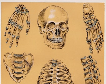 vintage anatomy print - 1920s colour lithograph of the human skeleton in parts - gothic macarbe gift idea