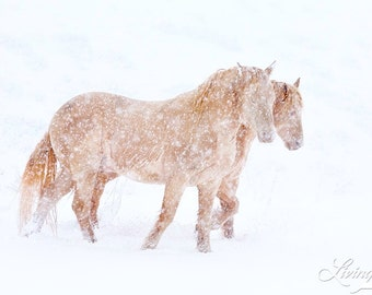 Spring Blizzard - Fine Art Wild Horse Photograph - Wild Horse - Snow - Cremello Colts
