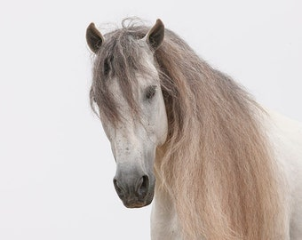 Andalusian Stallion's Soft Eyes - Fine Art Horse Photograph - Horse - Black and White