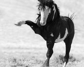 Benson Strikes Out - Fine Art Wild Horse Photograph - Wild Horse - Black and White - Fine Art Print - Sand Wash Basin - Benson