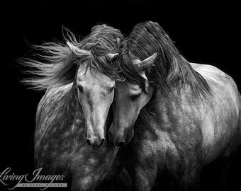 Two Andalusian Stallions - Fine Art Horse Photograph - Horse - Andalusian - Fine Art Print