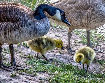 """Bird Photography-  """"Taking Care of Goslings"""" - Nature Photography Geese, goslings, closeup - unframed Print"""