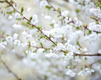 White Cherry Blossom Photograph, Digital Download, Nature Photo, Flower Photo, Modern Decor, Printable Wall Art