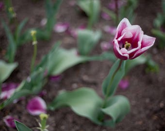 Artistic Tulip Photograph, Digital Download, Nature Photo, Flower Photo, Modern Decor, Printable Wall Art