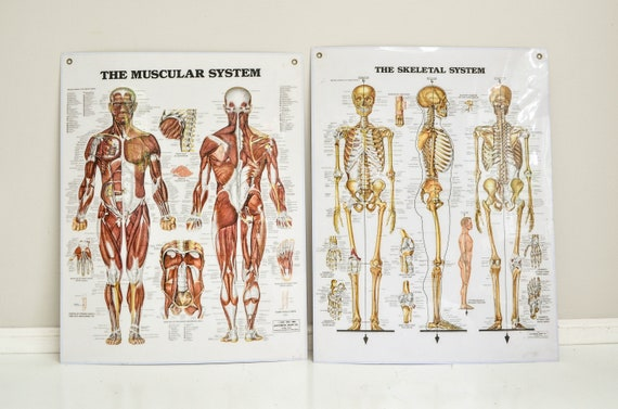 Pair of Vintage Laminated Anatomical Charts - Skeletal System and Muscular System