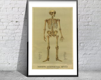 Vintage Print of Yaggy's Anatomical Study Antique Skeleton Chart on Matte Paper, Photo Paper or Stretched Canvas