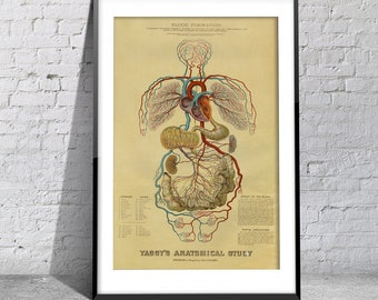 Vintage Print Yaggy's Anatomical Study Antique Blood Cardiovascular Chart on Photo Paper, Matte Paper or Stretched Canvas
