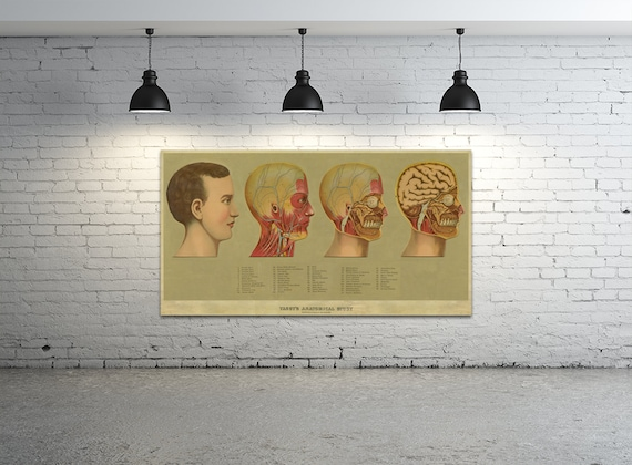 Print of Antique Yaggy's Anatomical Study Featuring Bones, Muscles, and Anatomy of the Head on Canvas, Matte Paper, Photo Paper
