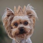 ultra MINI Harper gold lace crown for small dog or pet || photography prop