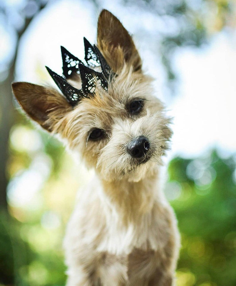BLACK ultra MINI Harper gold lace crown for small dog or pet image 0