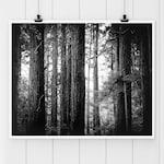 Black and White Photography,Muir Woods Print, Redwood Tree Print, nature print, wall art, California Fine art print, California redwoods