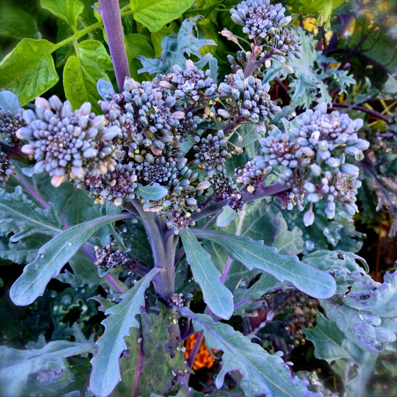 Broccoli Purple Peacock Open Pollinated Excellent Flavor Quick Growing Rare Seeds Grown To Organic Standards
