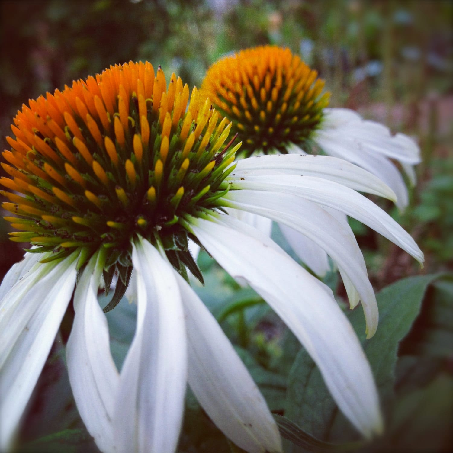 Echinacea White Swan Elegant Coneflower Water Wise Drought Etsy