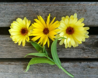 SALE! Calendula Resina Yellow MEDICINAL High Resin Content Easy to Grow Annual Flowers Grown to Organic Standards Very Rare Seeds