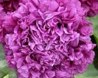 SALE Purple Peony Poppy Heirloom Cottage Garden Easy to Grow Annual Flower Rare English Garden Victorian Era Seeds