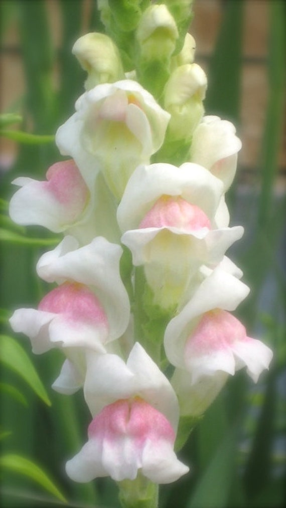 Sale snapdragon apple blossom white pink hardy annual or etsy image 0 mightylinksfo