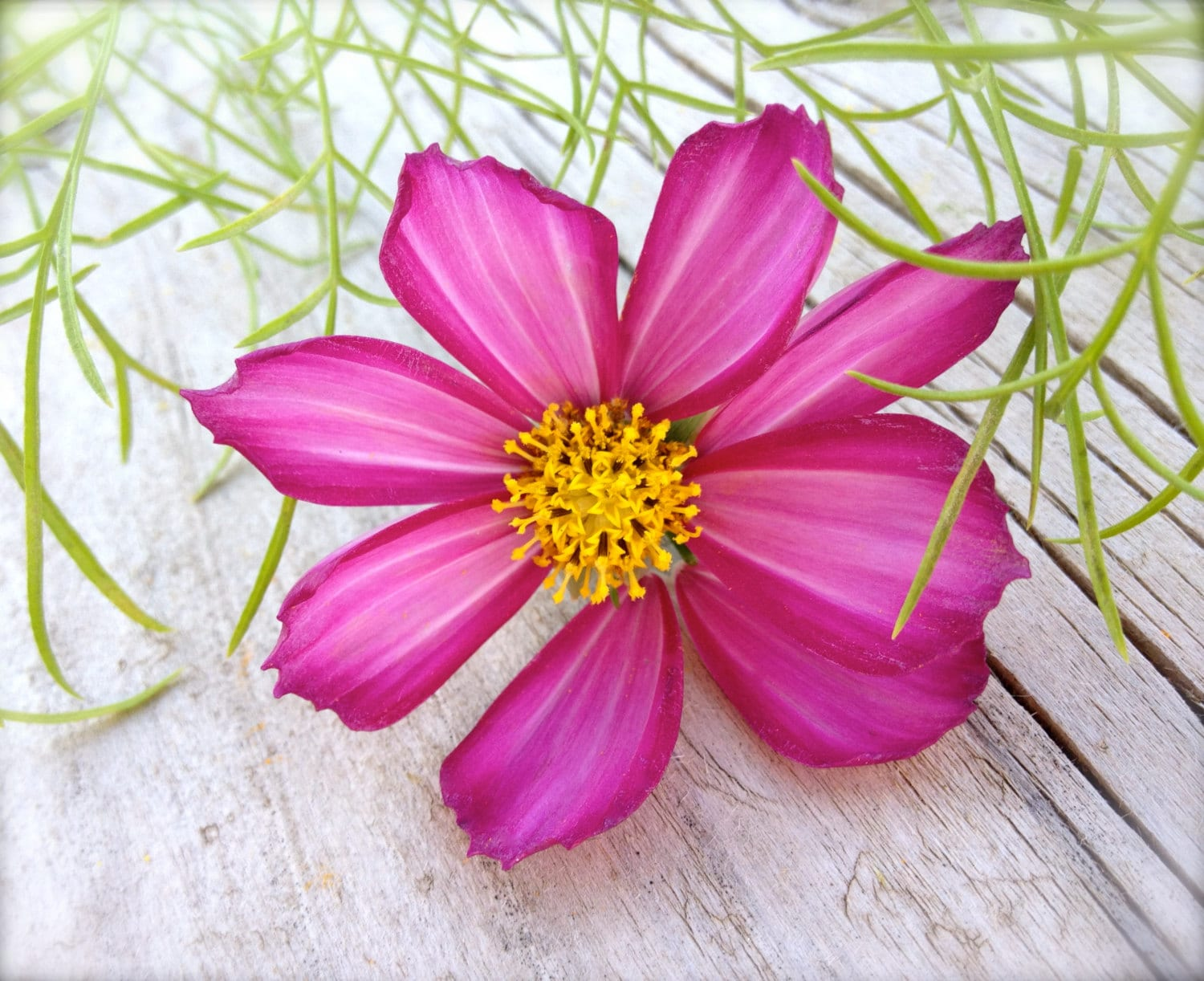 Sale Cosmos Heirloom Annual Flowers Candystriped Rare Etsy
