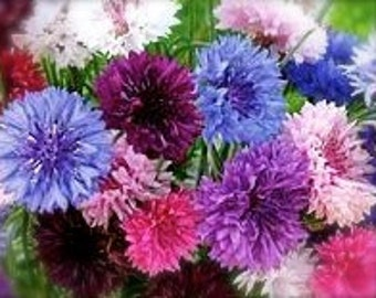 Bachelors Buttons Tall Mixed Colors Annual Cutting Garden Bouquets of Purple, Blue, Pink, Fuchsia, and White Rare Seeds