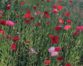 Flanders Poppy Annual Heirloom Seeds American Remembrance Flower Falling In LOVE Mix SALE!