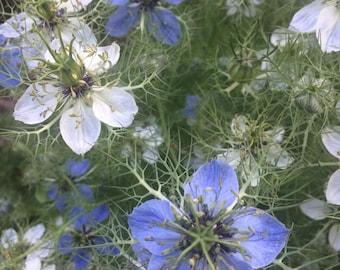 LOVE In A Mist Heirloom Cottage Garden ANNUAL Flower Nigella in Blue, White, Pink Seeds Grown To Organic Standards