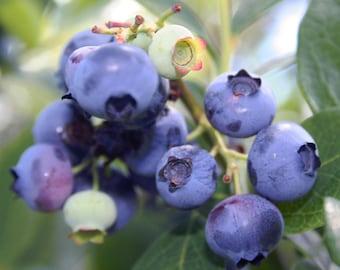 "SALE! Taste of Maine blueberries close up -  8 x 10"" color print"