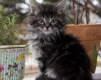 "Maine Coon Cat Kitten -  5 x 7"" color print"