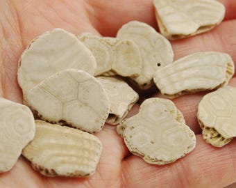 12 small fossilized sand dollar pieces with beautiful patterns (no.e6)