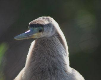 Pensive anhinga: 5 x 7 photograph CHARITY DONATION