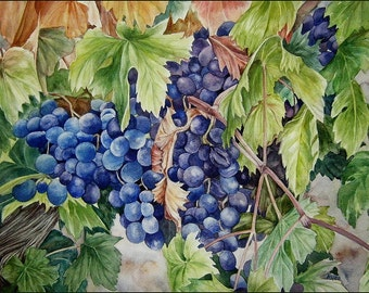 Fine Art print from an original watercolor - Grapes on a vine