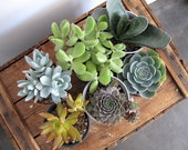mixed bag of 6 large succulents