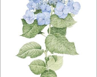 Hydrangea, Large Giclee Print